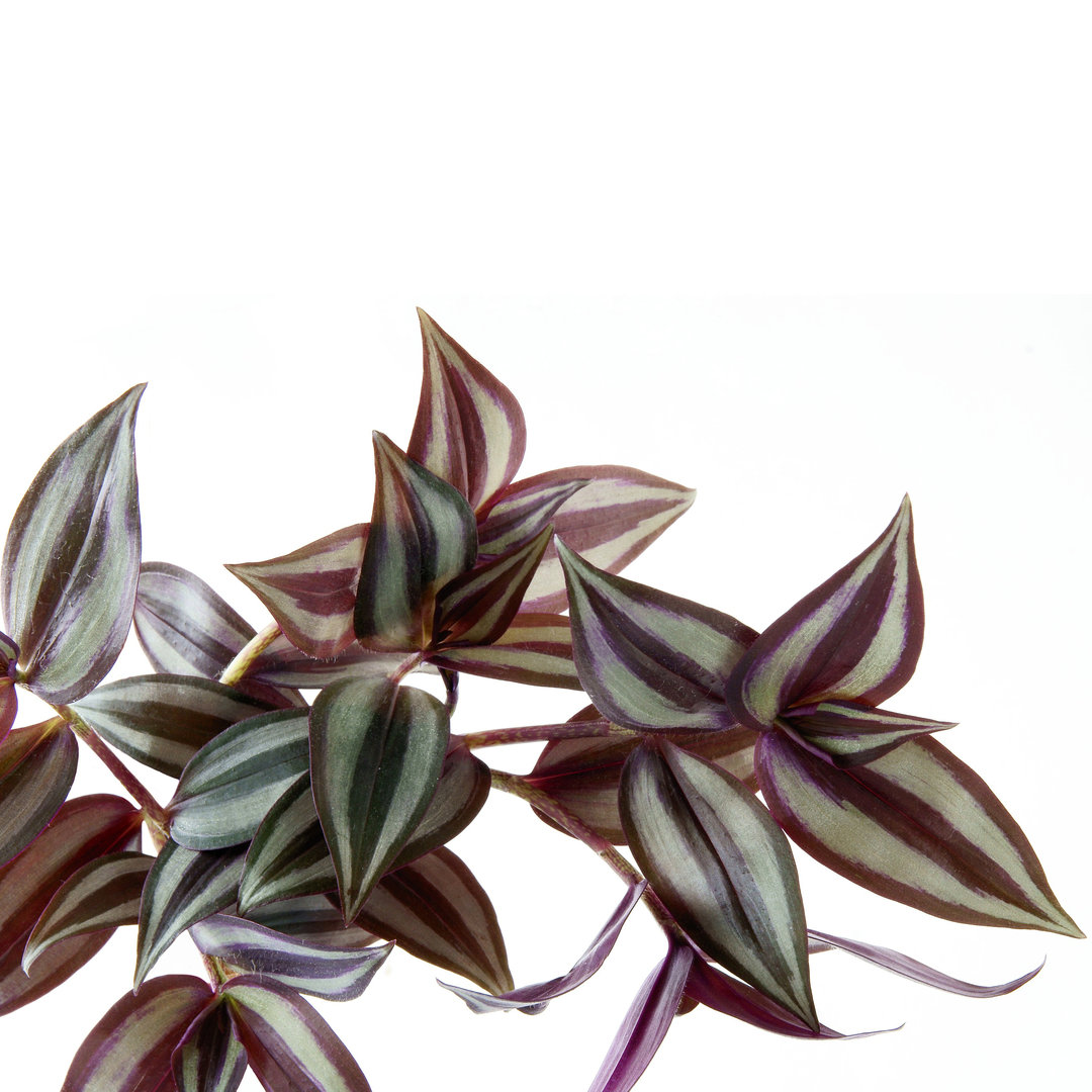 Inch plant - Tradescantia zebrina | Cutting with roots