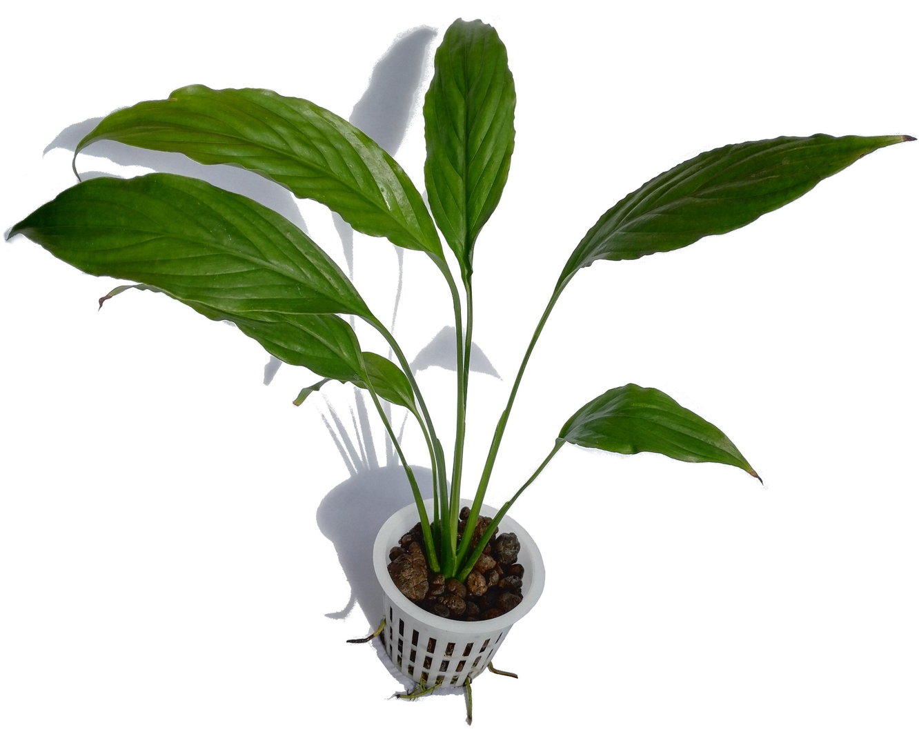 Peace lily | Young plant